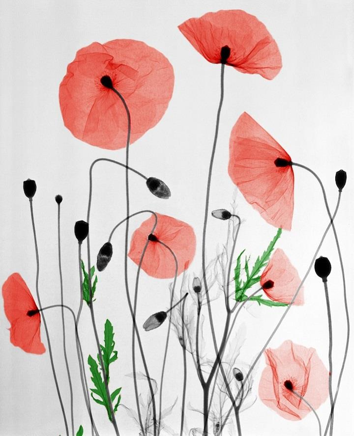 Arie van't Riet - flowers x-ray art