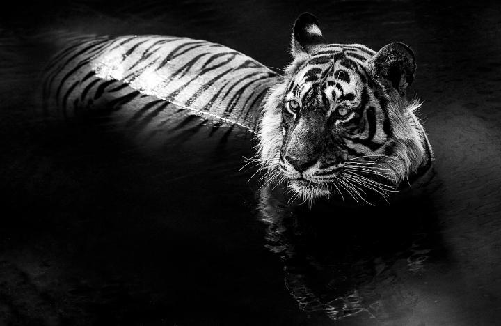 David Yarrow - tiger