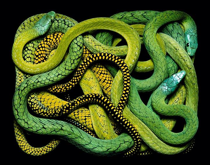 Guido Mocafico - green yellow snakes