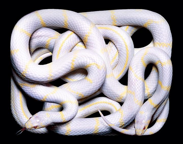 Guido Mocafico - white snakes yellow