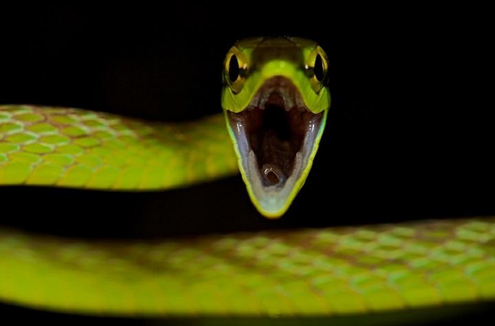 Paul Bertner - Green vine snake (Oxybelis brevirostris)