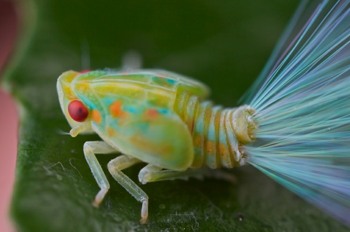 Paul Bertner - Leafhopper nymph